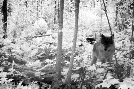 infrared wolf